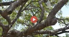 بھارت: بزرگ درخت کو سینکڑوں ڈرپ لگا دی گئیں