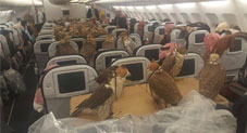 Falcons on a plane: First class treatment for birds of prey