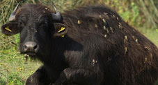 Scientists discover water buffaloes covered in FROGS